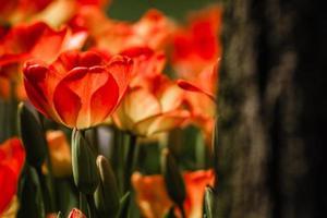 blandning av röda och gulfärgade tulpaner foto