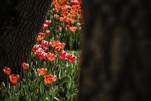 tulpaner i botten av träd foto