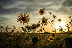 solnedgång solrosor foto