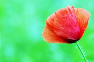 röda vallmo som blommar i den vilda ängen foto