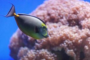 naso tang fisk, naso lituratus foto