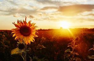 solrosor vid solnedgången foto