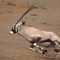 gemsbok springer foto