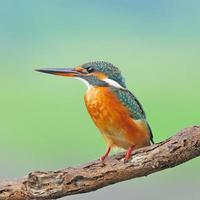 kvinnlig vanlig kingfisher foto