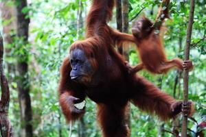 kvinnlig orangutang foto