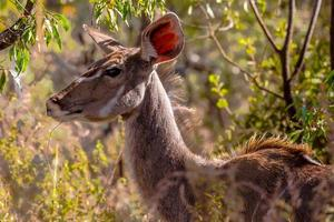 kvinnlig kudu foto