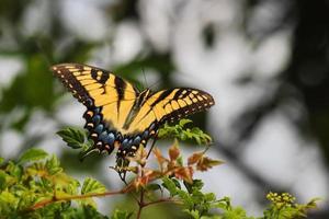 kvinnlig östlig tiger svälvstjärna (papilio glaucus) foto