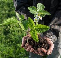 bonde som håller grön ung växt foto