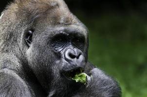 hungrig låglandsgorilla foto