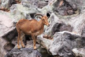 barbary får som är infödda till steniga berg i Nordafrika foto