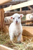 mycket ungt lamm som knappt står och äter gräs foto