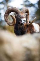 mouflon (ovis orientalis) foto