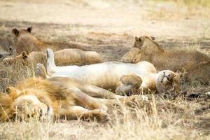 söt lejon sover på baksidan med tassar i luften foto