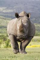 vit noshörning laddning foto