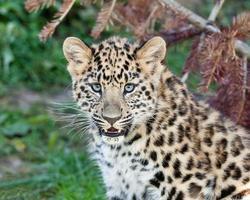 porträtt av söt baby amur leopard cub foto
