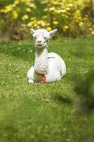 baby lama liggande efter matning foto