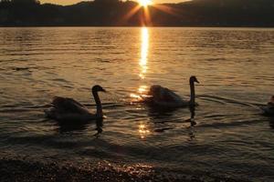 sagome di due cigni sulla sponda lago al tramonto foto