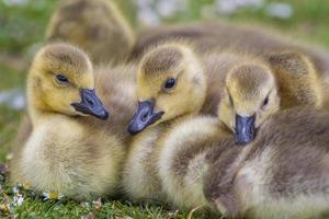 canada goose goslings på nära håll