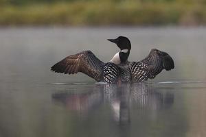 vanlig lön som stiger upp ur vatten på en dimmig sjö foto