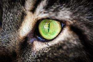 närbild grönt öga av maine coon svart tabby katt. makro foto