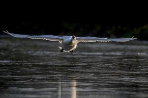 stum svan, cygnus olor, flyger över ett damm foto