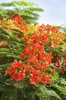 vackra gulmohar blommor foto