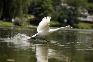 vit svan tar flyg från en sjö foto