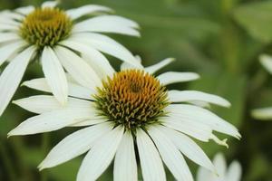 """vit echinacea - """"vit coneflower"""" - echinacea purpurea vit svan foto"""