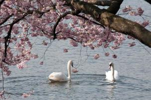 två vita svanar under blommande träd