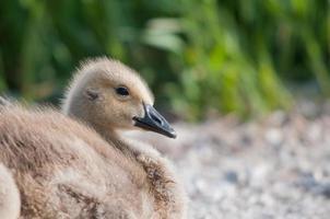 canada goose gosling foto
