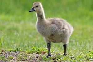 gosling foto
