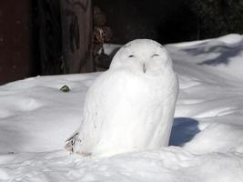 snöig uggla foto