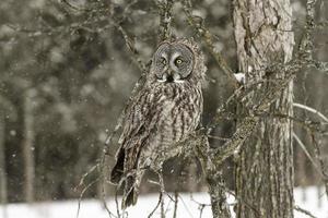 stor grå uggla i en vinterscen foto