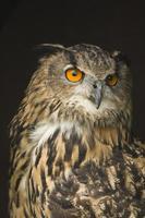eurasiska örnäggla porträtt foto
