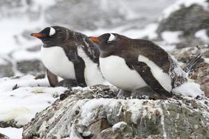 två gentoo-pingviner i snön 1 foto