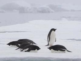 adeliepingviner på den antarktiska halvön foto