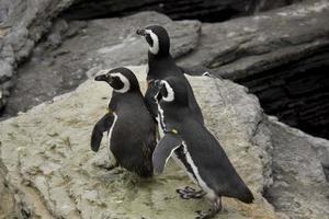 tre magellanska pingviner foto