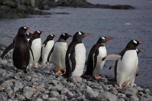gentoo pingviner på stranden, antarktis foto