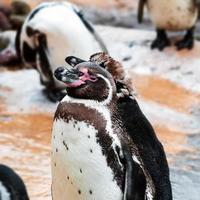 humboldt pingvin torkar sig efter ett dopp foto