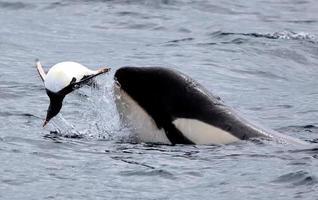späckhuggare som leker med gentoo pingvin