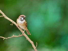 fågel (den eurasiska trädsparven), Thailand foto