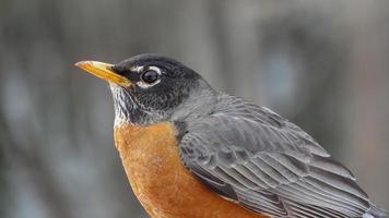 merle d'amérique - amerikansk Robin foto