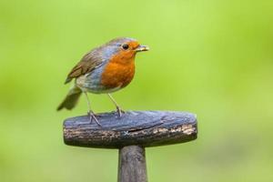 Robin uppe på ett spadehandtag foto