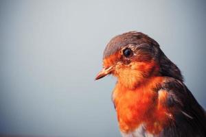 Robin tittar på foto