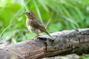 ung Robin (erithacus rubecula). Vild fågel i en naturlig livsmiljö. foto