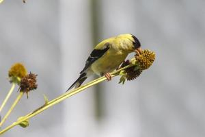guldfink äta foto