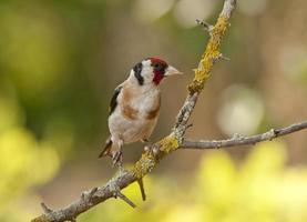 europeisk guldfink eller guldfink (carduelis carduelis) foto