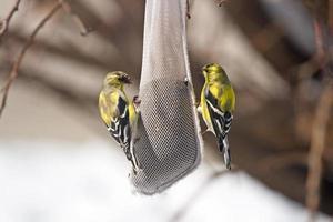 amerikanska guldfinkar på en frömatare foto