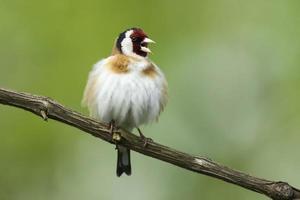 stieglitz, europeisk guldfinch