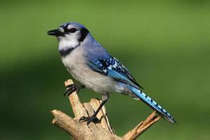 blue jay (corvid cyanocitta) foto